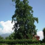 Il maestoso albero alle spalle della dimora