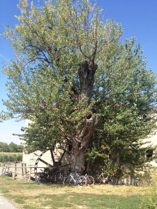 L'antico mulino e il suo albero custode