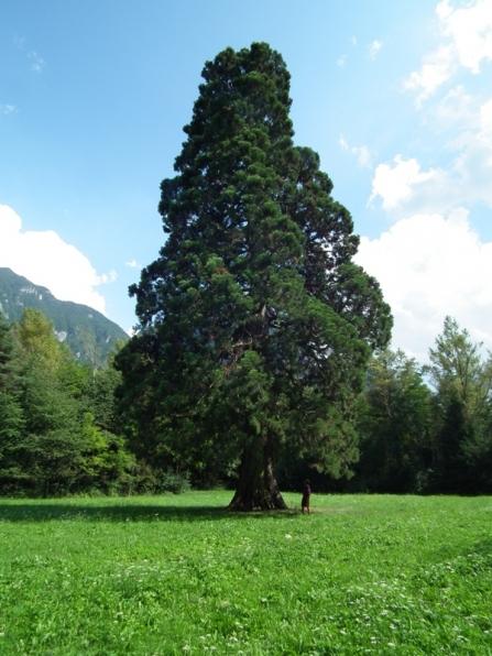 La grande sequoia: un simbolo di Longarone